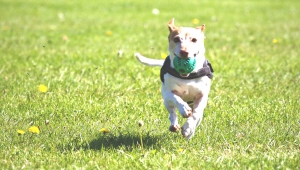 small dog running towards the camera with a ball in its mouth